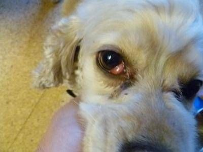 8 Most Common Dog Eye Problems Treatment Options Dogs Eyes
