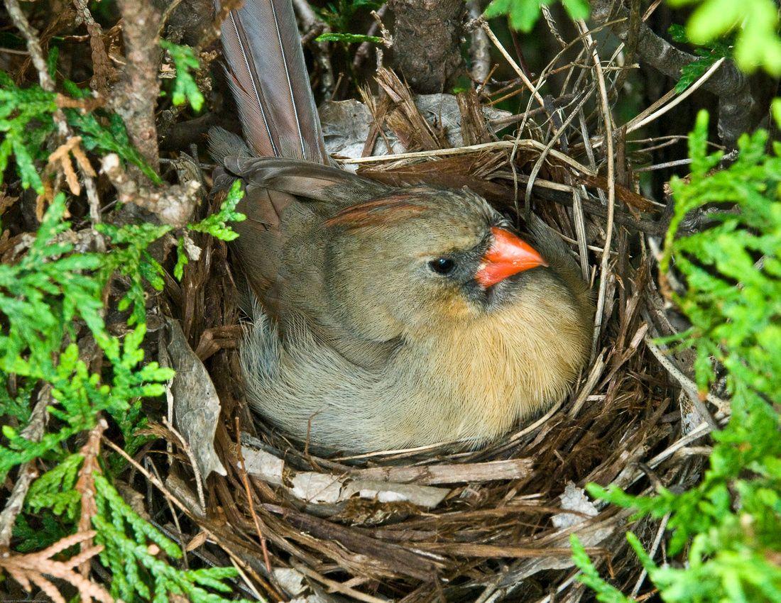 Northern Cardinal With Images Cardinal Birds Birds Beautiful