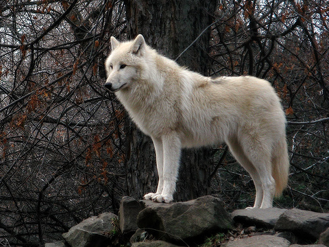 Tundra Wolf (Canis lupus albus) Wolf life, Wolf