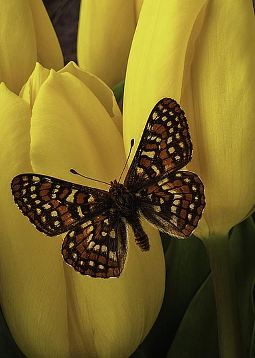 Spring Butterfly On Tulips by Garry Gay