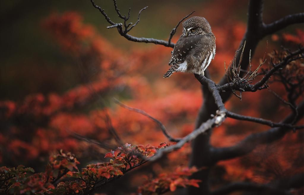 Owl in the red #autumn forest of Patagonia  Alexandre Deschaumes #photography