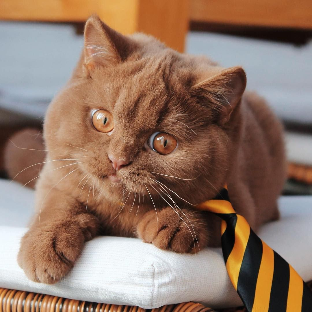 Pin By Kathi Brock On Cats British Shorthair Kittens British Shorthair Cats Brown Cat