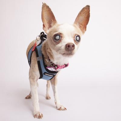 Available Mutts Muttville Dachshund Adoption Pet Adoption Pets