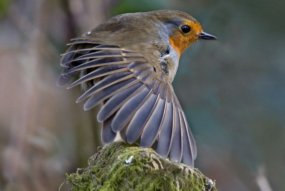 Robin - Erithacus rubecula | Flickr - Photo Sharing!