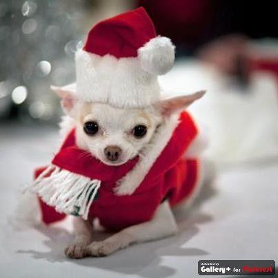 Cute Seasonal Chi Natal Animais Cao De Natal Animais Bonitos