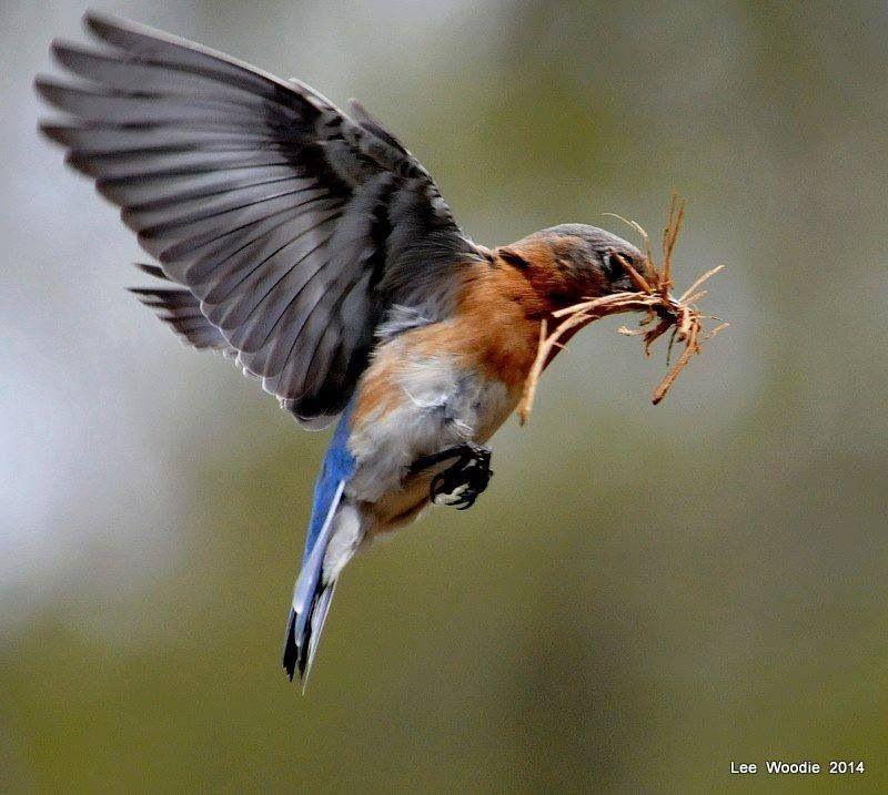 Love those bluebirds