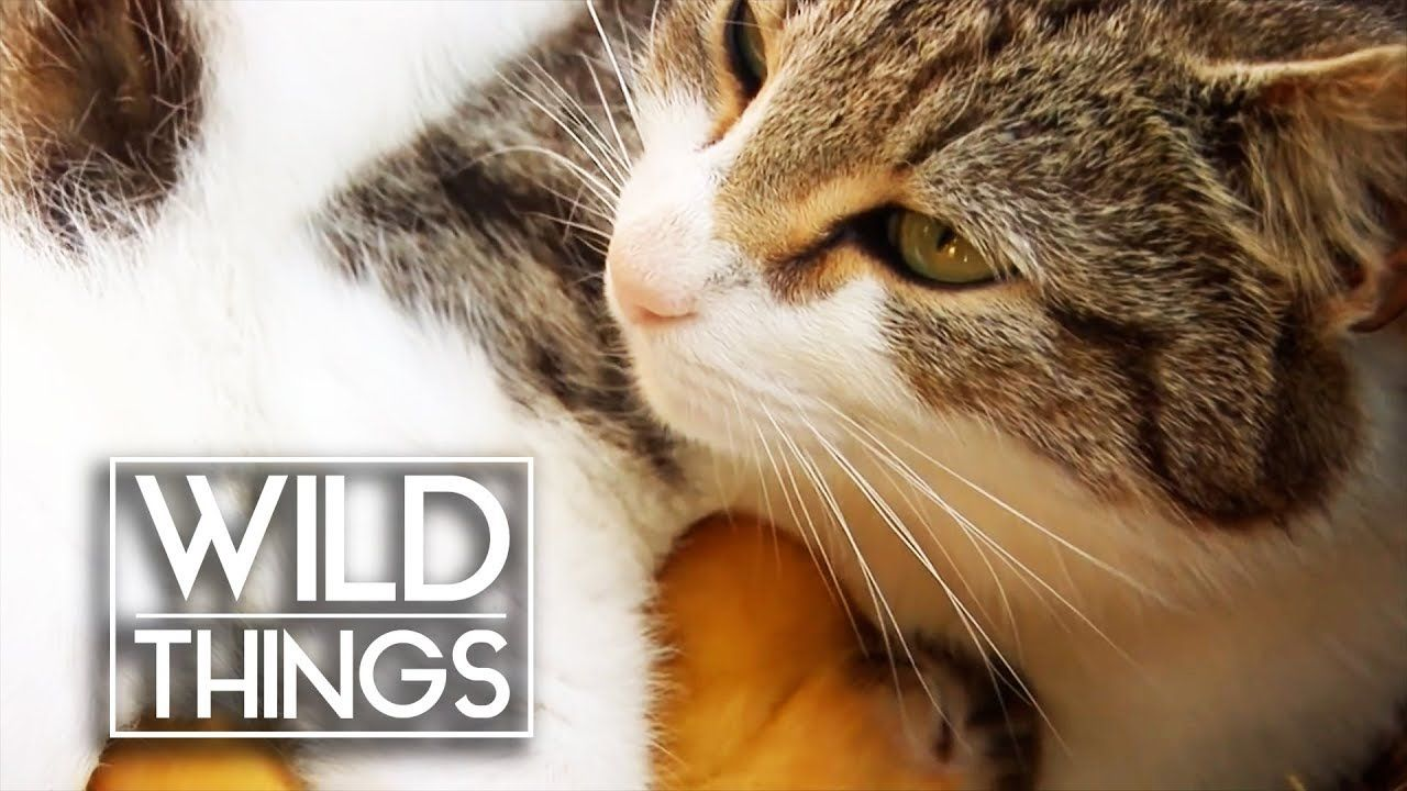 Animal Odd Couples Youtube cat adopts baby ducklings | animal odd couples | wild things