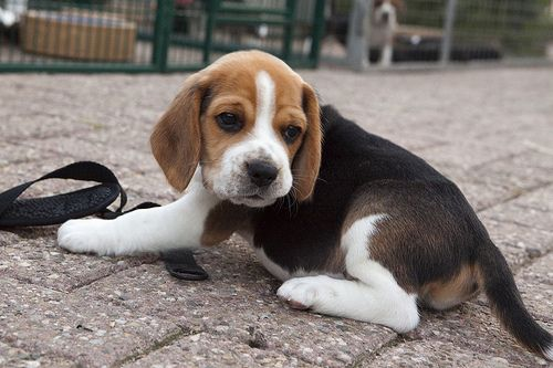 Looks Like My Sadie When She Was A Baby Love Dogs Beagle Dogs