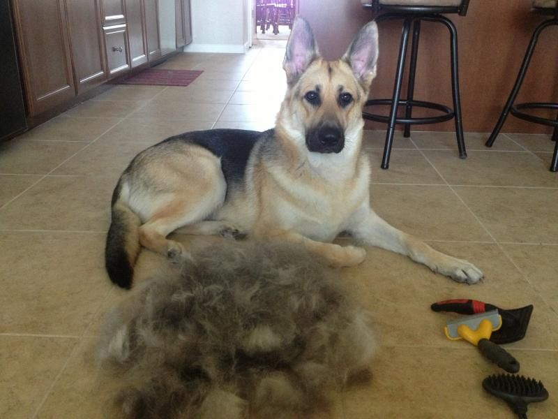 15 Things You Should Never Say To A German Shepherd Owner German
