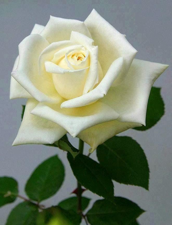 Rosa blanca ¡Linda! | flores hermosas | Pinterest | Rosas, Blanco y ...