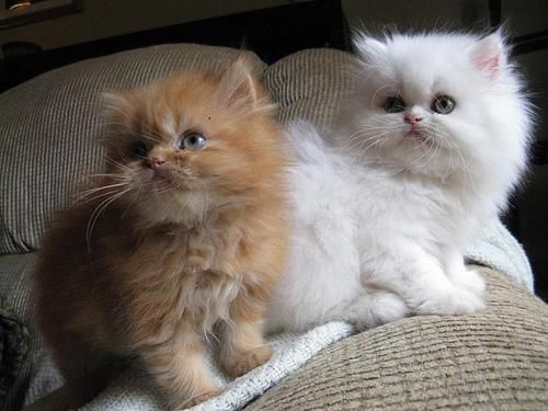 Persian Kittens San Diego Cute Cats Pictures Cute Cats