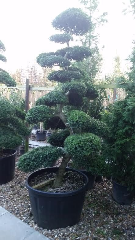 Ilex Crenata Cloud Trees Topiary Tree Anese Holly