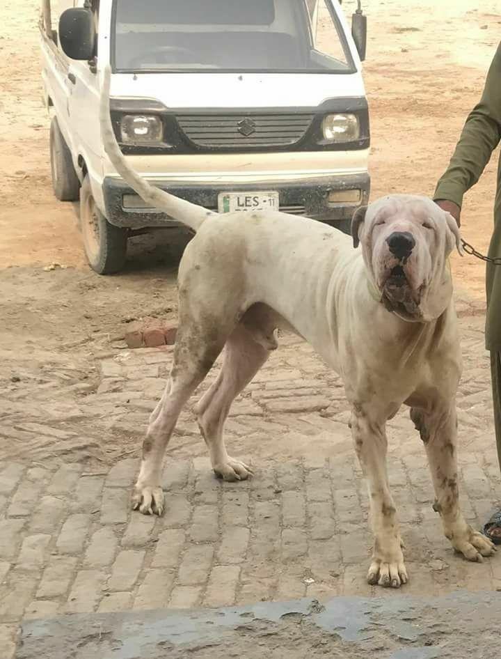 Park Art|My WordPress Blog_Cane Corso Puppies For Sale In Pakistan