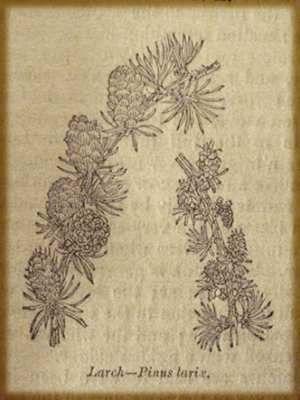 pine branch woodcut - Google Search