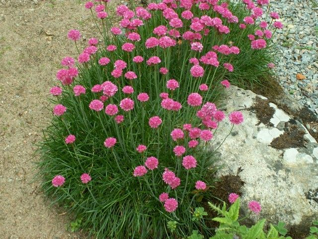 Sea thrift neat evergreen tufts of dark green grass like foliage sea thrift neat evergreen tufts of dark green grass like foliage with stiff stems to 8 in the stems bear profuse globular pink flowerheads that are wide mightylinksfo Image collections