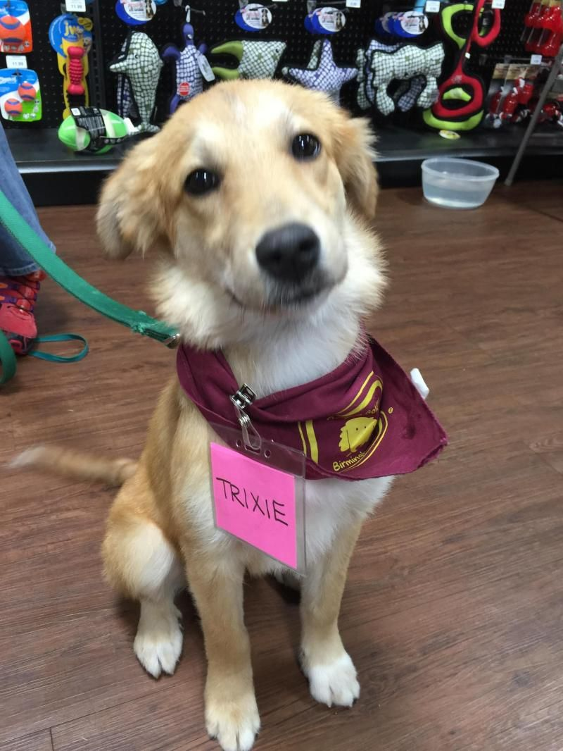 Adopt Trixie II on Dogs golden retriever, Dogs