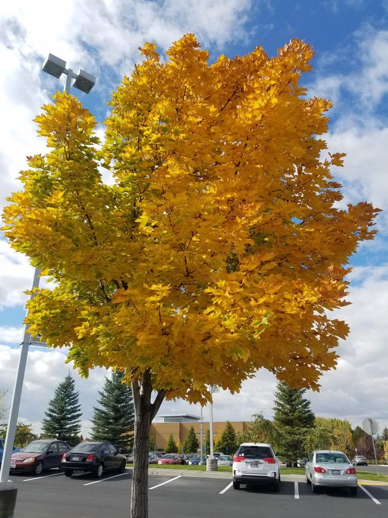 NORWAY MAPLE ACER PLATANOIDES 20  SEEDS Orange to golden yellow in Autumn