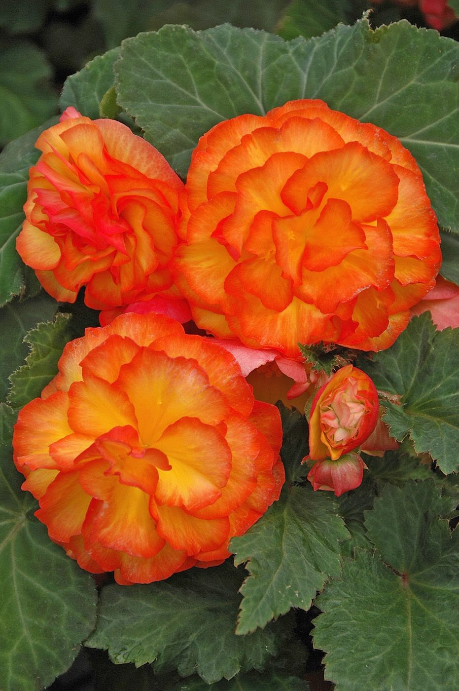 Begonias Pictures With Names Publications May Download Photograph At 200 Ppi Top Bottom Tuberous Begonia Flower Seeds Bonsai Flower