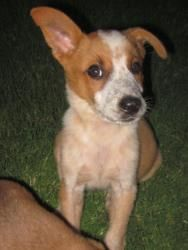Hami Is An Adoptable Australian Cattle Dog Blue Heeler Dog In Arlington Tx Handsome Hami Is A 14 Week Old Red He Blue Heeler Dogs Foster Puppies Red Heeler
