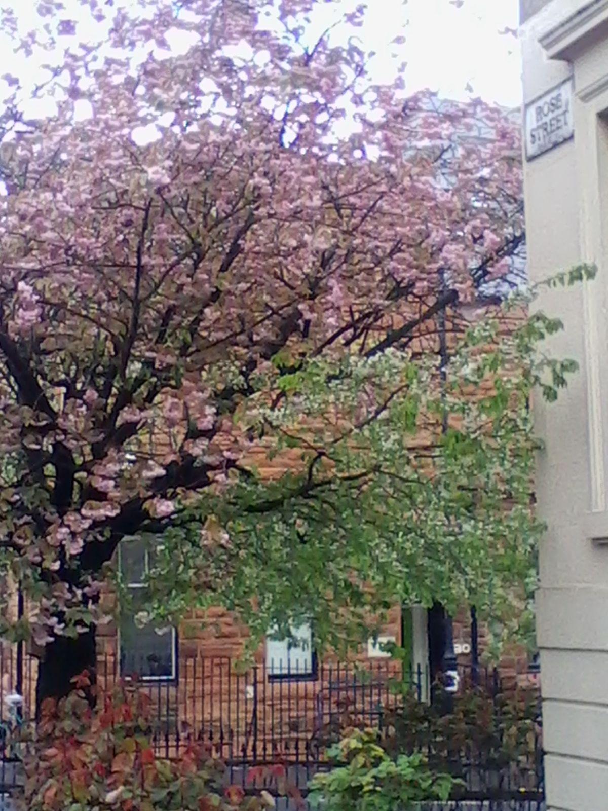 Double blossom cherry, Garnethill Spring 2015