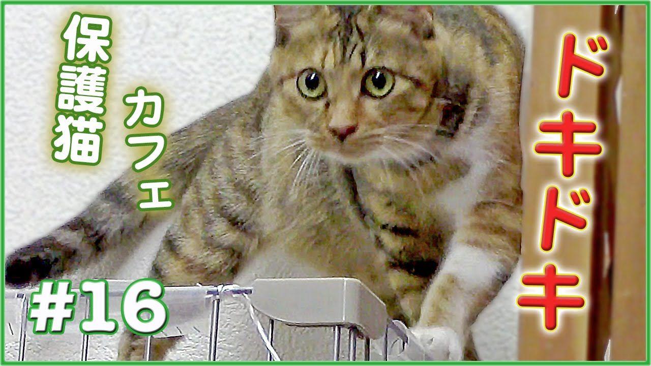 猫だから こんな事も たまにあります 保護猫カフェ 16 Cat Cafe Japan The Adventure Cat 猫動画 Cats Animals