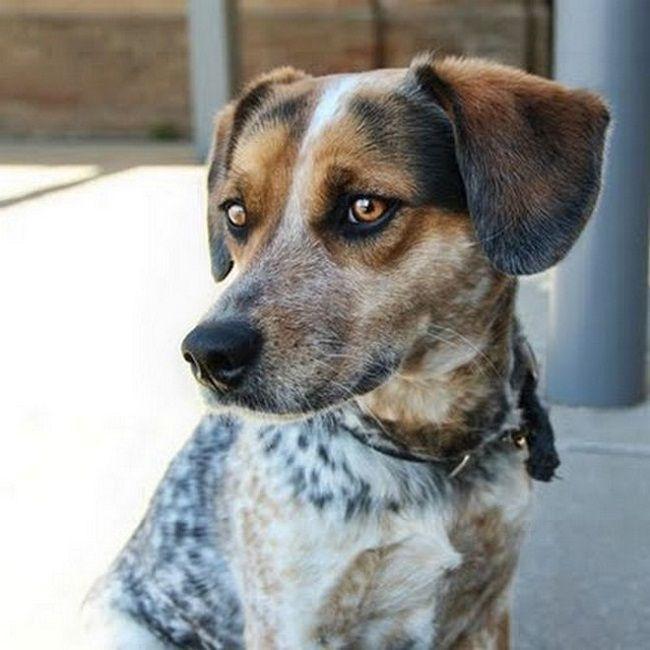 Australian Cattle Dog Beagle Mix Colors With Images Australian