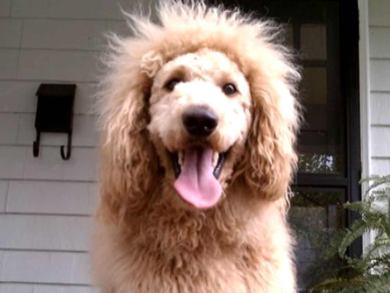 Adorable Labradoodle Mistaken For Lion Labradoodle Lion Dog Dogs