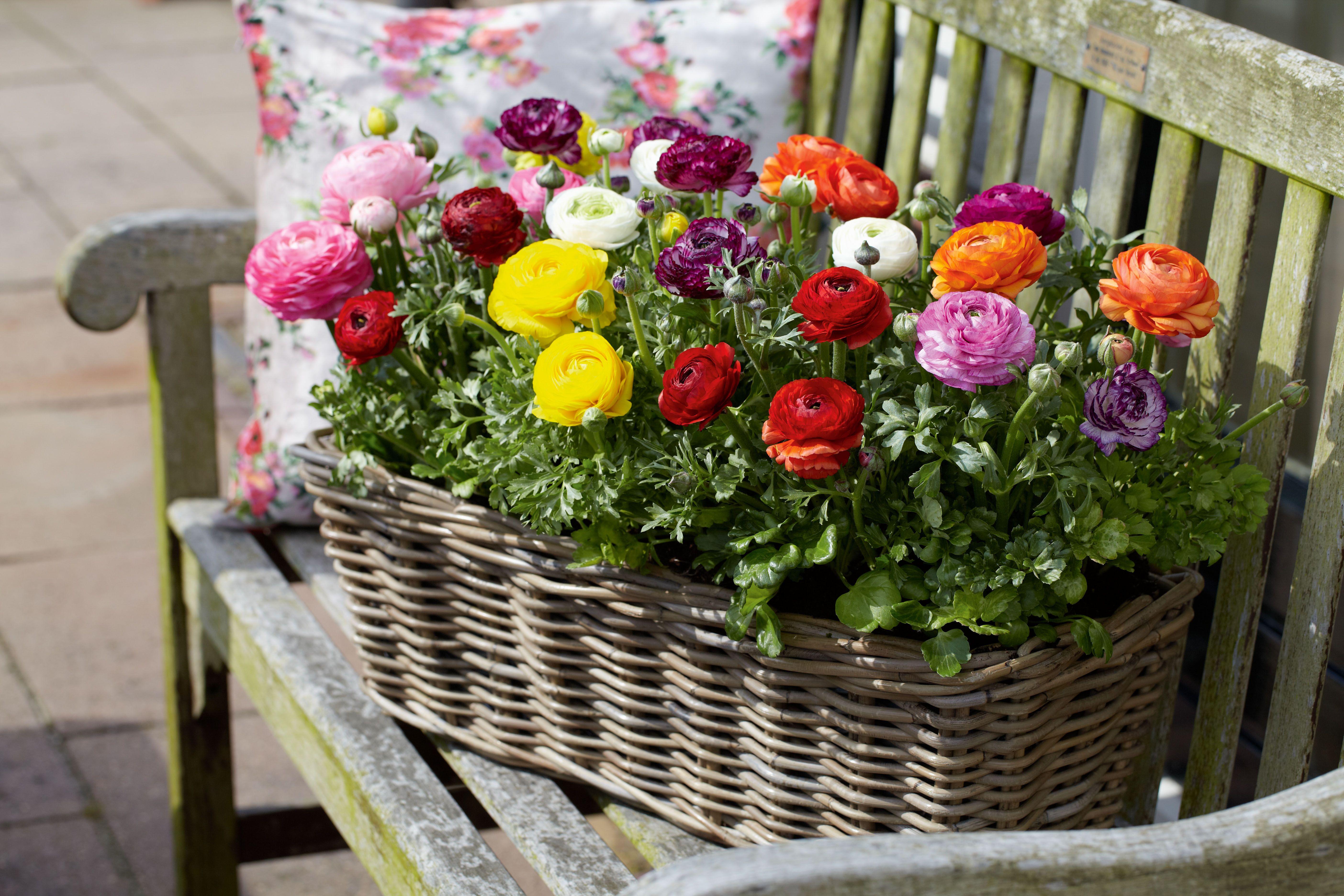 ranunkeln sind nicht nur tolle beetpflanzen sondern eignen sich zb auch ganz toll f r. Black Bedroom Furniture Sets. Home Design Ideas