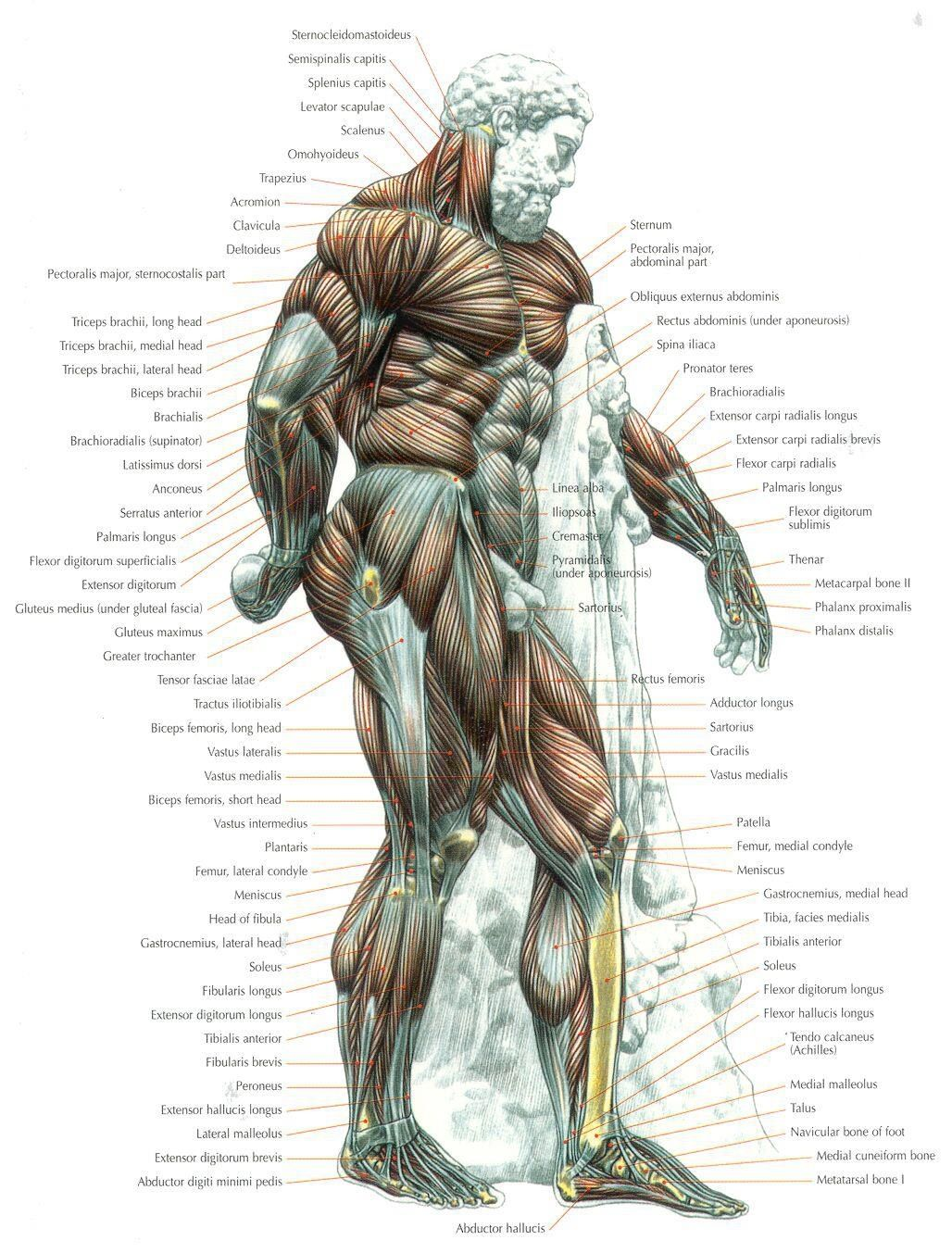 Anatomy ... | Running, training, fitness, core, strength ...