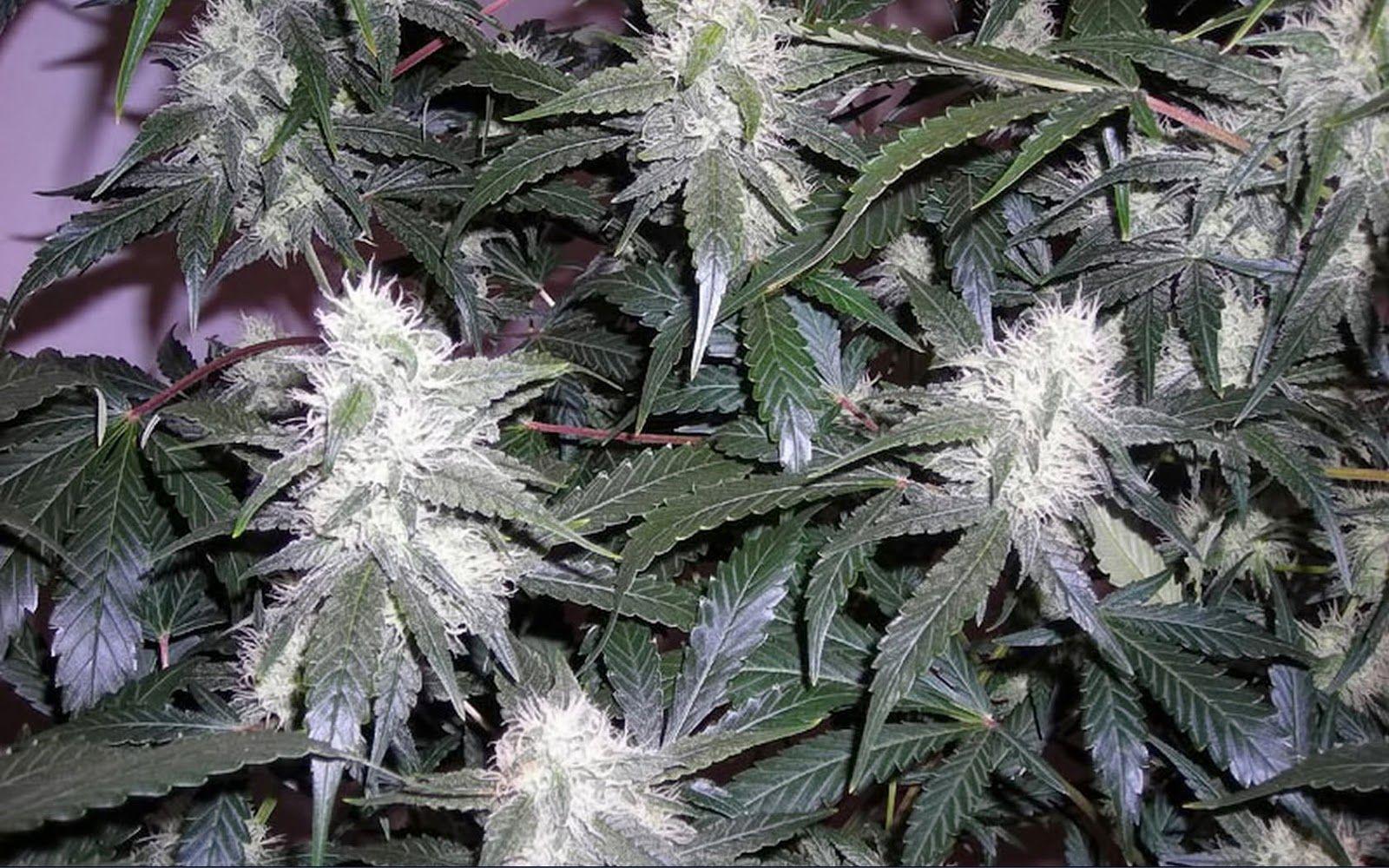 The Feminized White Widow Marijuana Strain Is Developed By Dutch