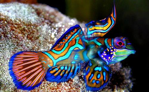 Dscn0291 Mandarin Fish Marine Fish Fish