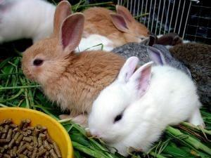 Cómo alimentar un conejo doméstico
