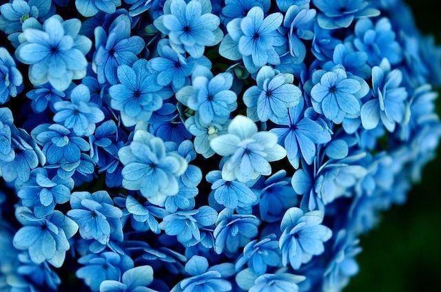 Hydrangea 1 Blue Flower Wallpaper Blue Flower Pictures Blue Flowers Background