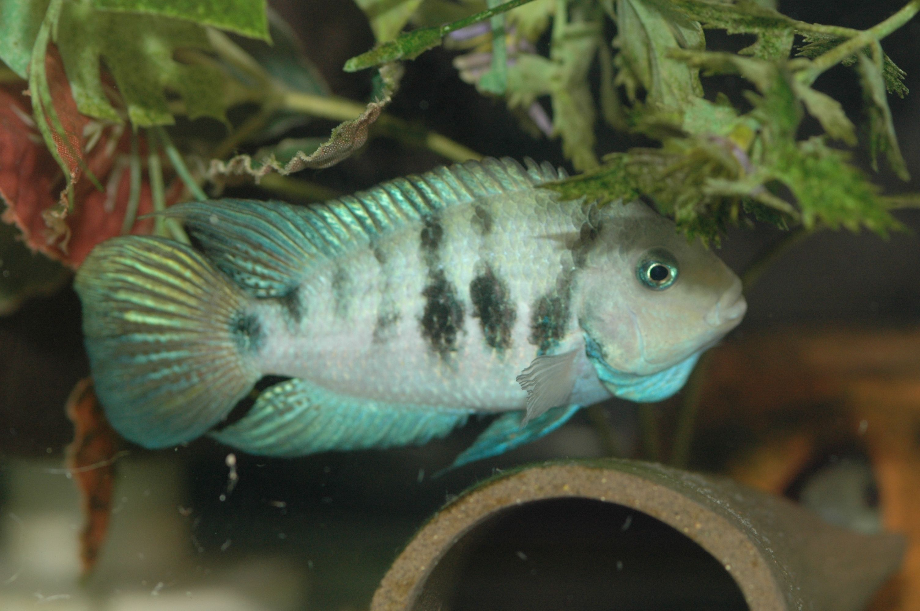 Archocentrus sp. Honduran Red Point American cichlid