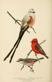 v 9 1907  lore Bird  Biodiversity Heritage Library s por javier magdalen