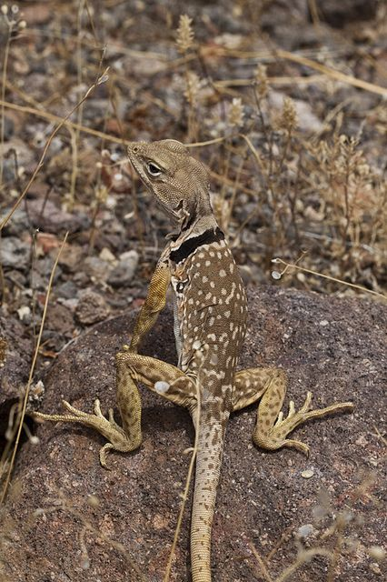 Sonoran Collared Lizard Lizard Desert Lizards Reptiles And Amphibians