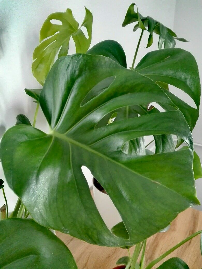 Monstera Monstera Plant Leaves Monstera Plants