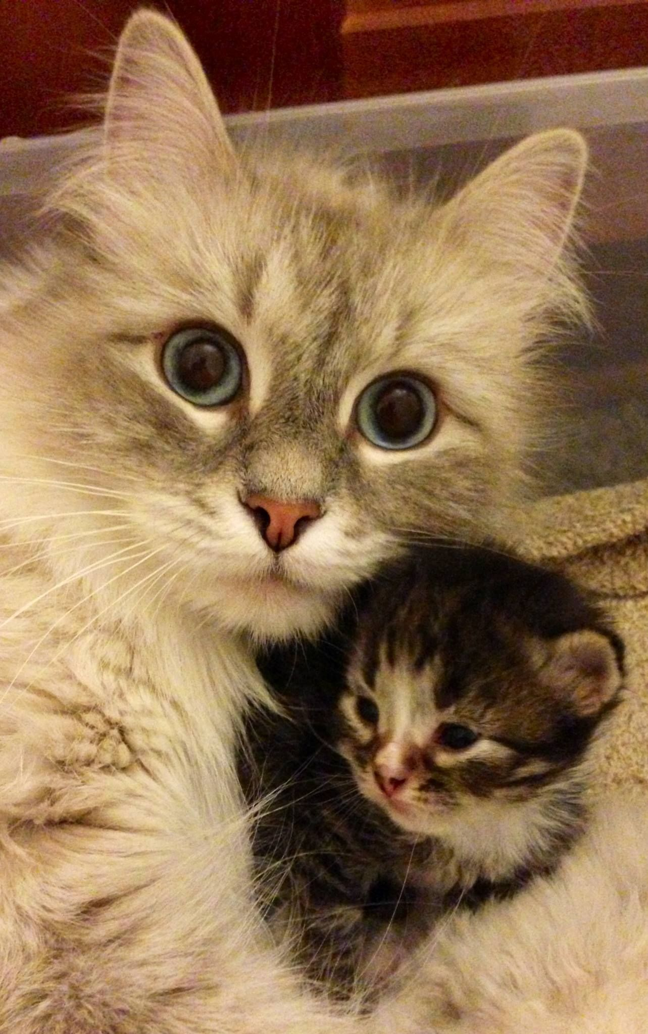 Hypo Allergenic Siberian Cats And Kittens Siberian Cat Kitten Kittens Hypoallergenic C In 2020 Siberian Kittens For Sale Siberian Kittens Siberian Cat Hypoallergenic
