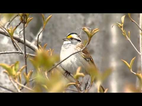 White Throated Sparrow Song With Images Animal Sounds
