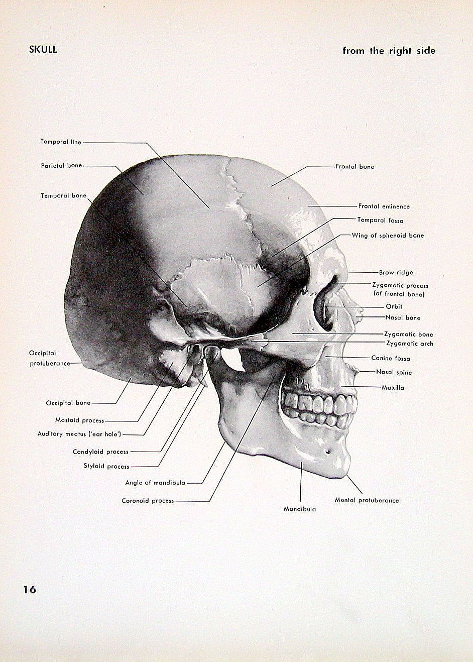 1951 2 Sided Vintage Anatomy Book Plate Skull Right Side and Back ...
