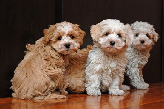 Coton Poo Pups Puppies For Sale Puppies