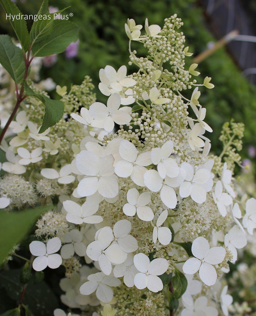 brussels lace hydrangea july frost dwarf zones 4 9 botanica flowers pinterest. Black Bedroom Furniture Sets. Home Design Ideas