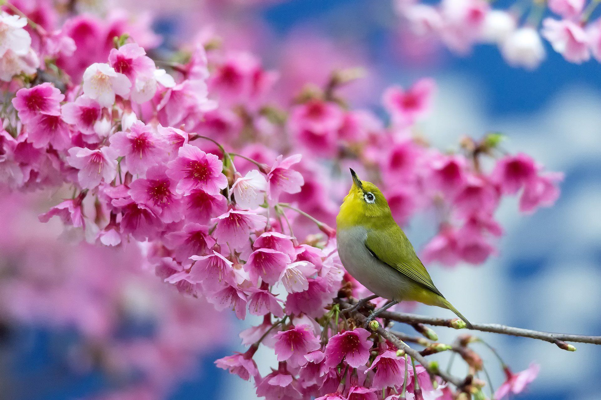 birds on flower branches |  cherry branch flowers beauty japanese