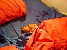 Mini dachshund displaying typical burrowing behavior