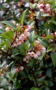 Vaccinium ovatum; Evergreen huckleberry; Evergreen shrub; dry–moist, part shade–shade; h~10 ft