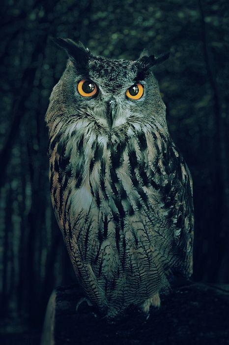 The Owl by Carlos Caetano