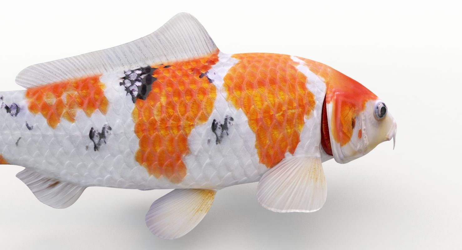Koi Fish 3d Model Koi Fish Fish Koi