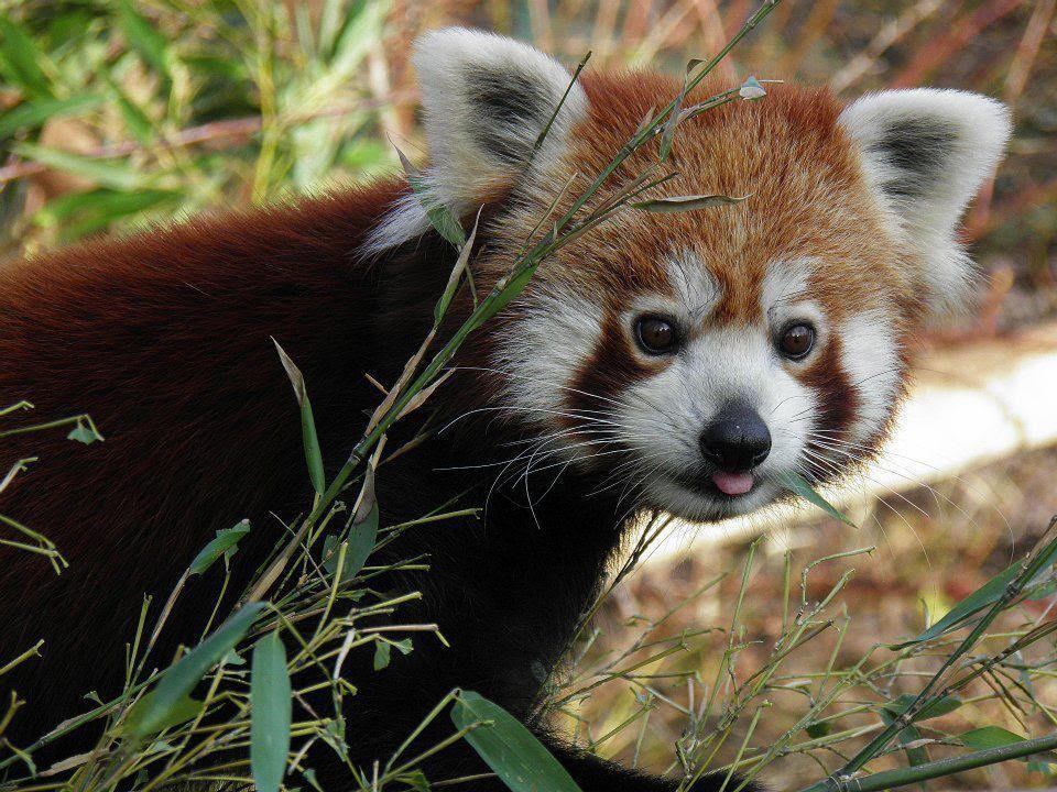 Red panda. Rousse