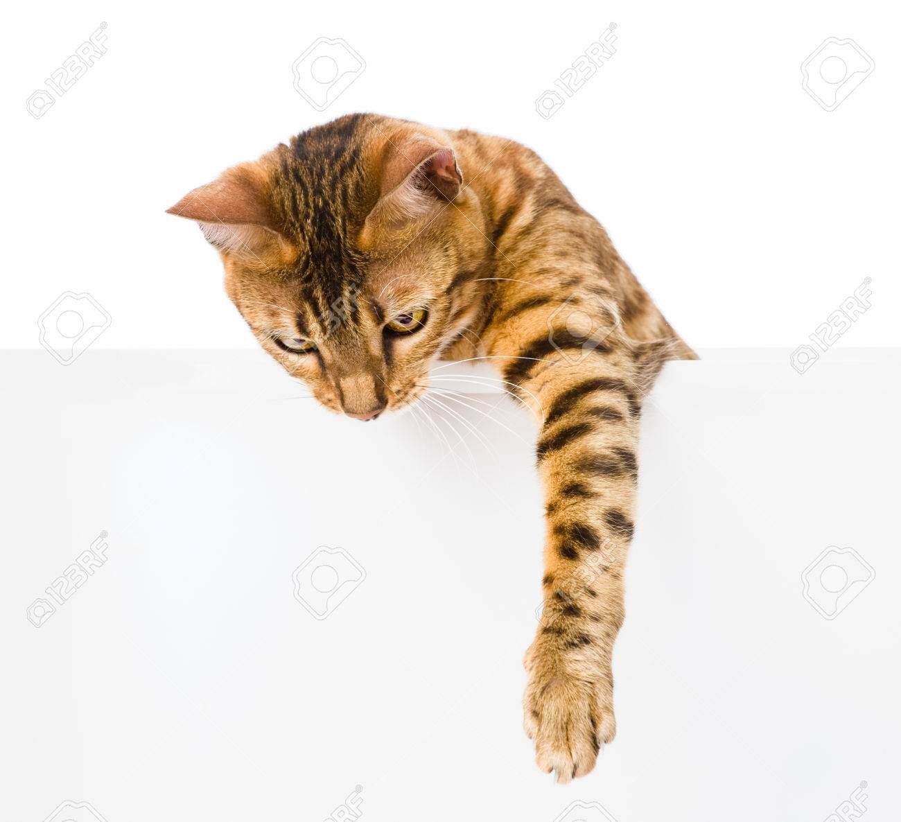 bengal kitten with empty board isolated on white background , #Sponsored, #empty, #kitten, #bengal, #board, #background