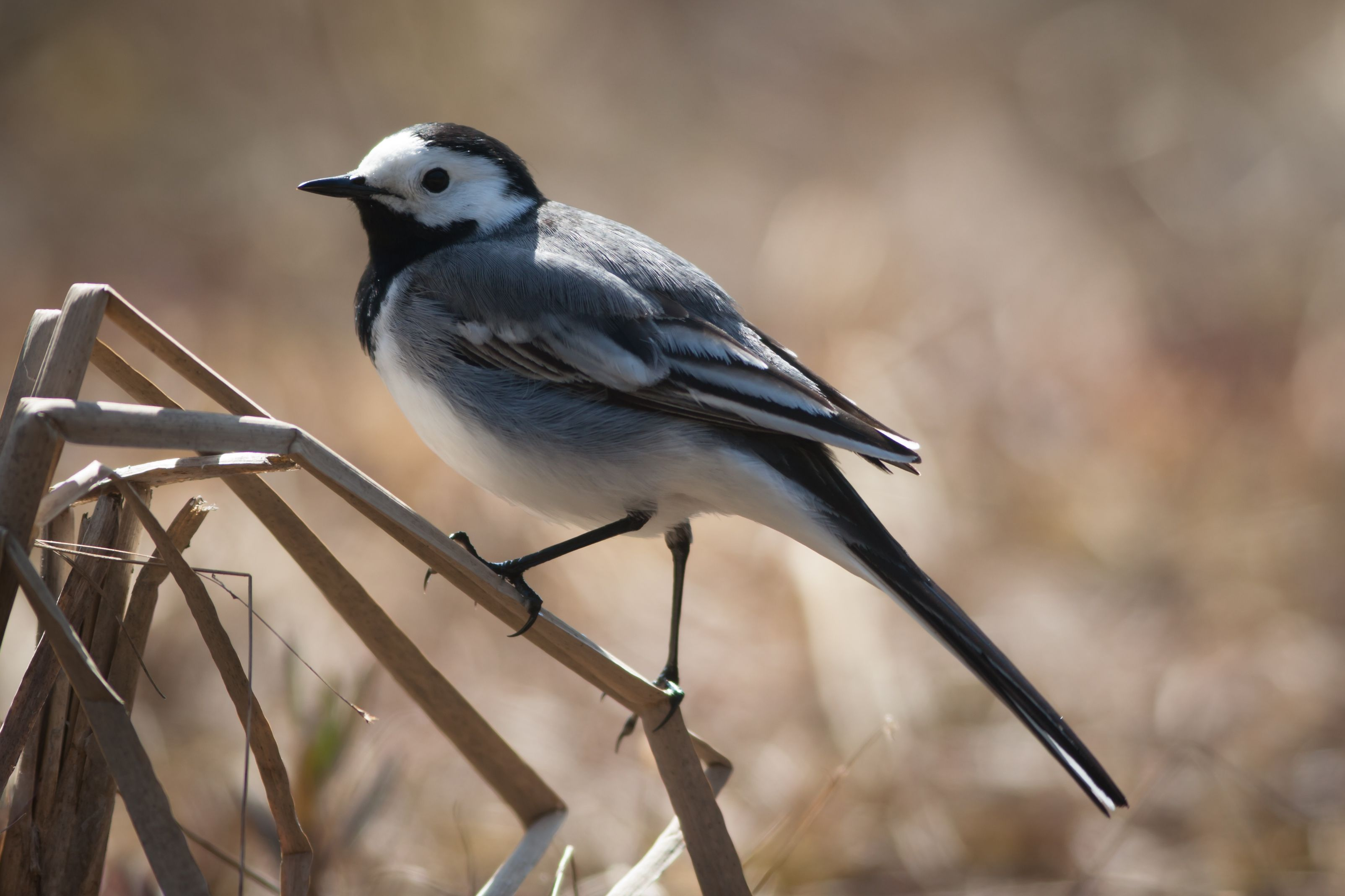 White wagtail / Västäräkki, by Teemu Saloriutta - My favorite birds with Blue tit.